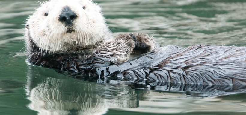 Sea Otter photo by Greg Tucker
