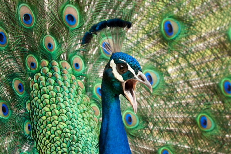Peacock calling (loudly) for potential mate