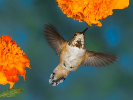 Hummingbird, British Columbia, Canada