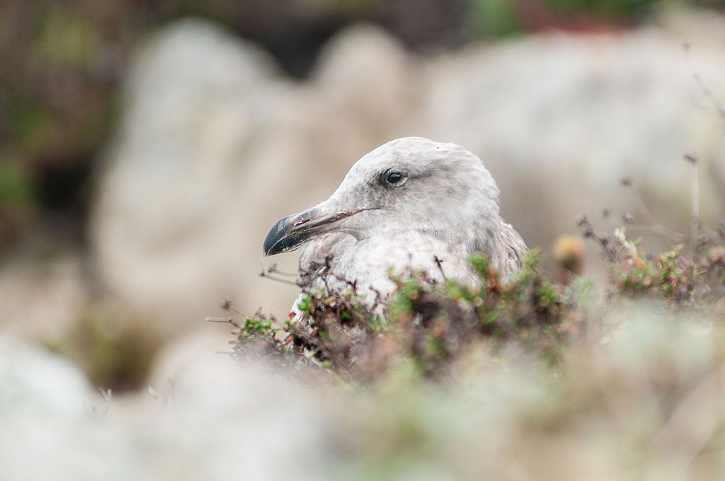 Nesting gull photo by Greg Tucker